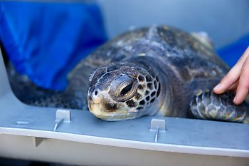 Green sea turtle in transport kennel before release Sept. 2018