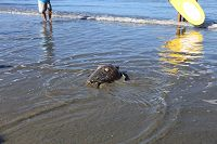 Green sea turtle crawls into the shallow water at the beach Sept. 2018 - thumbnail