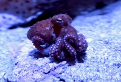 Side view of a small, reddish-purple bigeye octopus inside aquarium exhibit resting on a rock surface