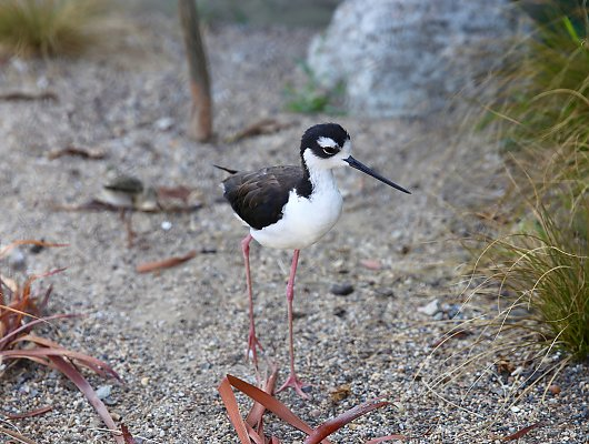 Gigi the black-necked stilt