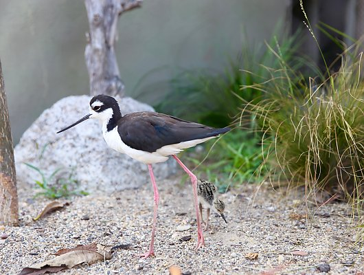 Black-necked stilt chick and Gigi