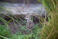 Black-necked stilt chick looks over its shoulder