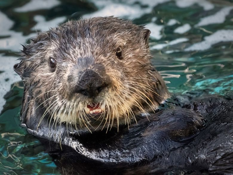 Millie the sea otter - popup