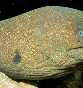 Calironisn Moray
