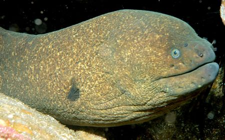 Moray Eel Headshot - lightbox