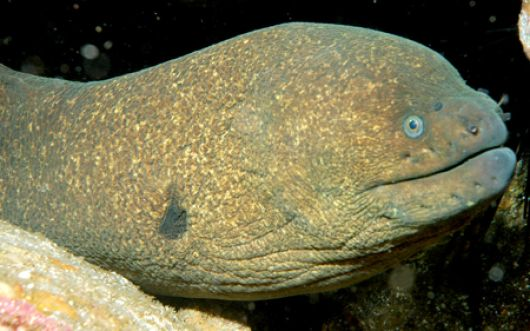 Moray Eel Headshot - popup