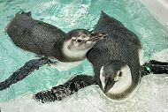 Juvenile Penguins Join Public Exhibit