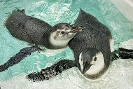 Three-Month-Old Penguins Join Public Exhibit