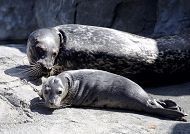 ShelbyPup.jpg links to Aquarium's Harbor Seal Gives Birth to Pup