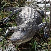 American Alligator links to American Alligator