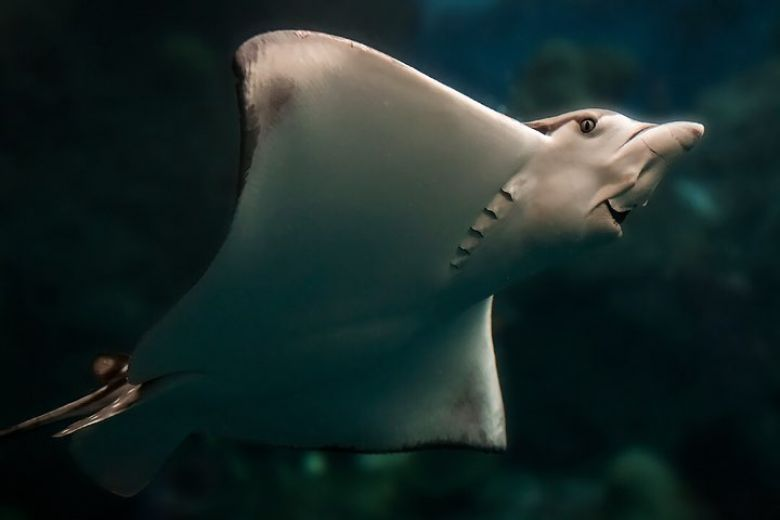 Eagle ray swims in Tropical Reef exhibit view of underside mouth and eye visible - popup