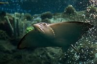 Eagle ray swims in Tropical Reef exhibit with coral in background, view of underside with mouth and eye visible - thumbnail