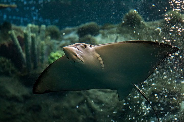 Eagle ray swims in Tropical Reef exhibit with coral in background, view of underside with mouth and eye visible - lightbox
