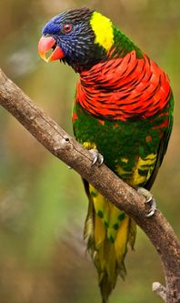 Green-Naped Lorikeet - thumbnail