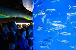 Visitors watch yellowtail