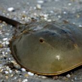 Atlantic Horseshoe Crab - thumbnail
