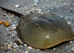 Atlantic Horseshoe Crab - lightbox