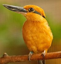 Guam  Kingfisher (Male) - thumbnail
