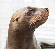 profile portrait of Cain the sea lion links to New Sea Lion to Make Home at the Aquarium of the Pacific