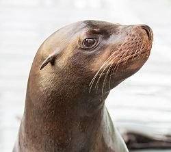 profile portrait of Cain the sea lion