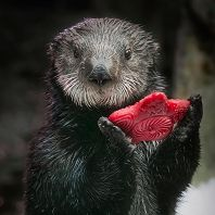 Sea otter holding a red star