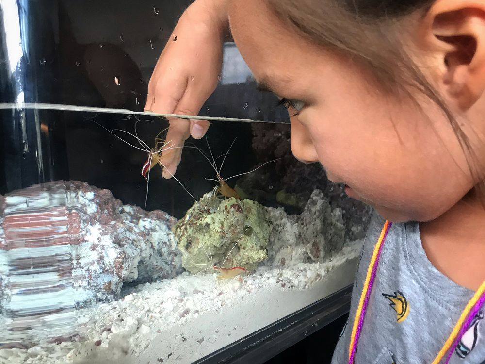 Young girl watches as cleaner shrimp climb on her hand inside small aquarium - lightbox