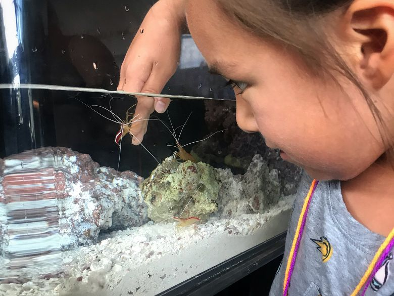 Young girl watches as cleaner shrimp climb on her hand inside small aquarium - popup