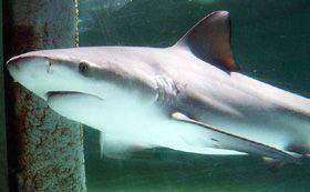 Aquarium of the Pacific | Online Learning Center | Bull Shark