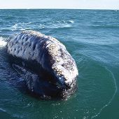 Eastern Pacific Gray Whale - thumbnail