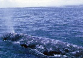 Eastern Pacific Gray Whale - lightbox