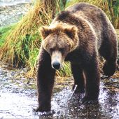 Brown Bear links to Brown Bear