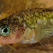 Unarmored Threespine Stickleback - thumbnail