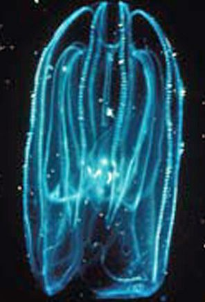 Comb Jelly (Sea Walnut)