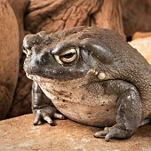 Sonoran Desert Toad links to Sonoran Desert Toad