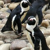 African penguins on rocks - thumbnail
