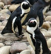 http://www.aquariumofpacific.org/images/olc/207arpinstonecrop.jpgAfrican Penguin{/mainimageOLC} links to African Penguin