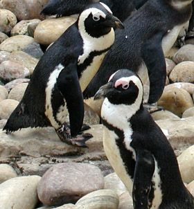 African penguins on rocks