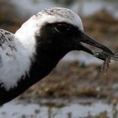 Black-bellied Plover - thumbnail