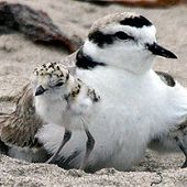 Western Snowy Plover and Chick - thumbnail
