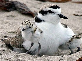 Western Snowy Plover and Chick - lightbox