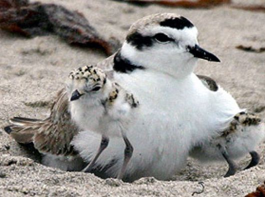 Western Snowy Plover and Chick - popup