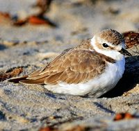 Western Snowy Plover - thumbnail