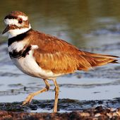 xxx Killdeer near water - thumbnail
