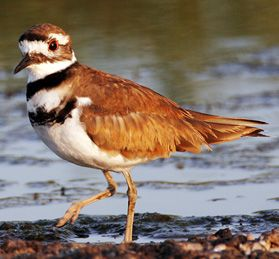 Killdeer near water - lightbox