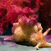 California Brown Sea Hare links to California Brown Sea Hare