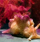 http://www.aquariumofpacific.org/images/olc/247Aplysia_californica_genny_andersoncrop.jpgCalifornia Brown Sea Hare{/mainimageOLC} links to California Brown Sea Hare