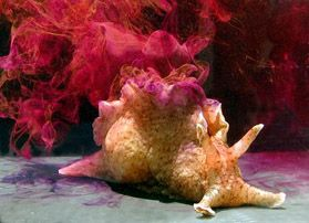 California Brown Sea Hare