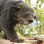 Binturong links to Binturong