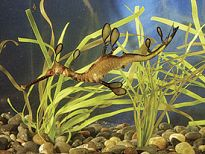 Captive Growth Rates and Reproductive Biology of the Weedy Sea Dragon (2003)