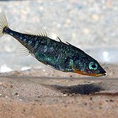 Threespine Stickleback - thumbnail